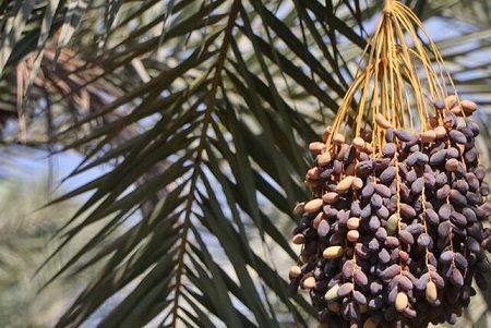 تعداد مراکز خرید خرما تضمینی به ۲۷ رسید/ خرید خرما در آستانه رسیدن به ۱۵ هزار تن
